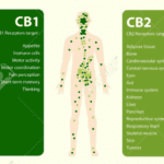 cbd and endocannabinoid system