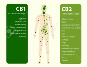 cbd and endocannabinoid system