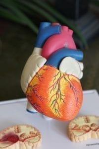 CBD og det kardiovaskulære system