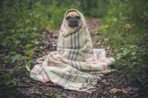 pug no cobertor